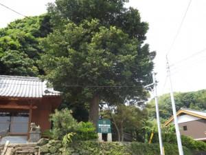 【鄭成功居宅跡】梛(なぎ)の木は鄭成功が植えたものとされる良縁の木である