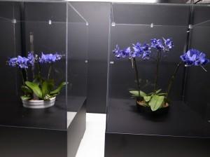 博覽會場展出世界上首度研發成功的藍色蝴蝶蘭作品