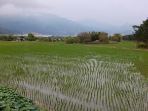 既に一回目の田植えが終わった台北市北投区内の田圃