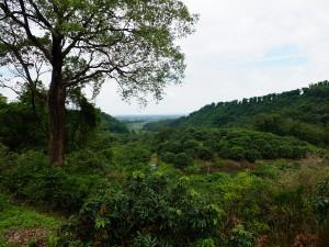 大樹のライチ畑から高雄市中心部を望む。眼下に広がるのがライチの木々。