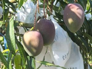 熟れていないマンゴーの色は緑と紫。通常は紙袋が被されている。