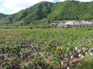 屏東県枋山のマンゴー園。