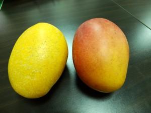 左が新種マンゴーの「夏雪」。右は日本にも輸出されている「愛文マンゴー」。