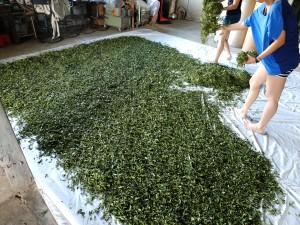 室内萎凋(室内乾燥)作業の様子。この時は茶葉はまだ緑色。