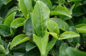 中央の茶葉の上にある小さな黄緑色の虫がウンカ。(写真提供:台湾福茶)