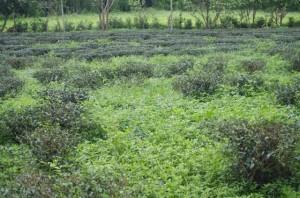 5月下旬の茶畑。有機栽培のため、雑草もそのまま。(写真提供:台湾福茶)