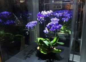 藍色蝴蝶蘭是這次蘭展中受注目的展示之一