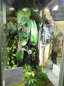 有「象耳蘭」之稱的蝴蝶蘭,碩大的葉片最長的可達1公尺