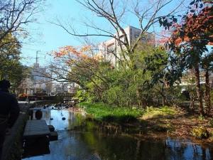 樂壽園附近的源兵衛川水源來自富士山雪水和雨水的伏流水