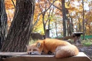 「藏王狐狸村」畜養近100隻狐狸的,民眾可近距離和狐狸接觸