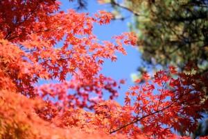 楓紅美景吸引旅客造訪松島