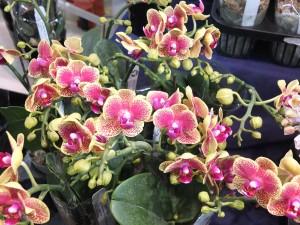 胡蝶蘭のリトルモンキー