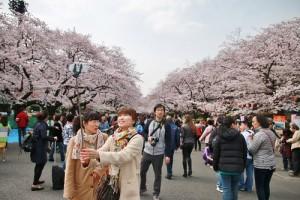 上野公園的櫻花Festa於4月1日正式起跑