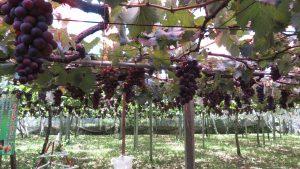 乾淨的葡萄果園