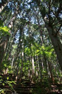 奧多摩町是東京都內唯一一座的森林療法基地,當地因為擁有超過900顆「巨樹」,而有巨樹最多的城町之稱